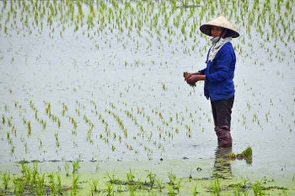 vietnam-paddy-field6